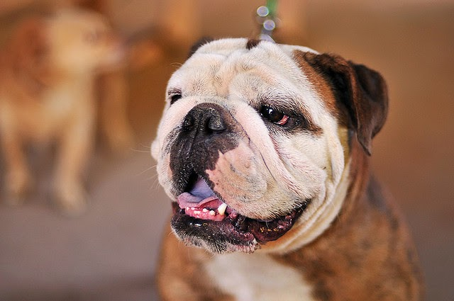 Bulldog top 10 breeds for children