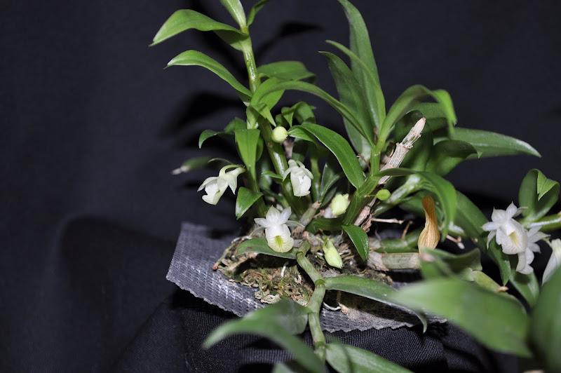 Dendrobium oligophyllum [mise à jour photos] DSC_0001-001