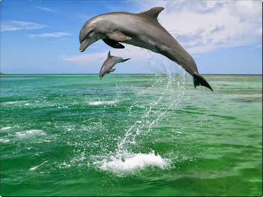 Bottlenose Dolphins, Caribbean Sea.jpg