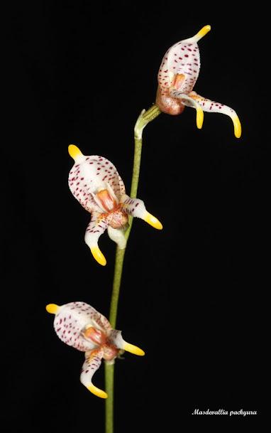 Spilotantha pachyura ( ex. Masdevallia pachyura )  IMG_8226b%2B%2528Large%2529