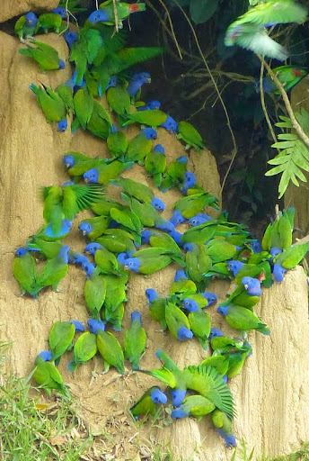 Blue-headed Parrot (Pionus...