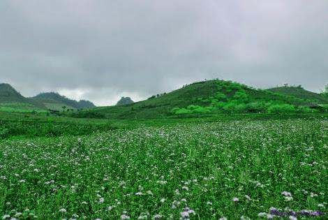 Moc chau pys travel013 Mộc Châu hoa dại ướt sương giăng