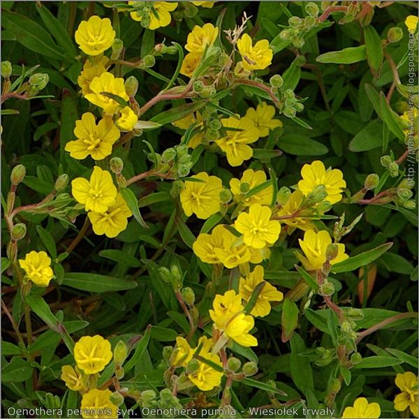 Oenothera perennis syn. Oenothera pumila - Wiesiołek trwały