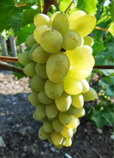 Нормирование кистей на виноградном кусте