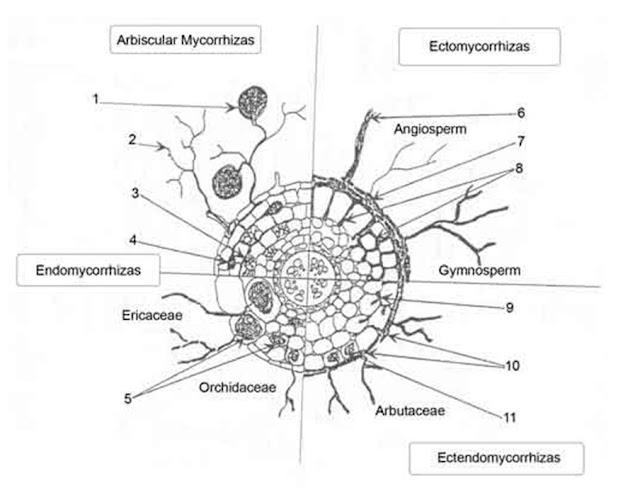 Mycorrhizae%252520ENGESTROM%2525202007%252520SNIP%2525202%252520Google%252520Images.JPG