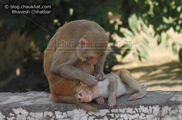 Monkeys of Jaipur - Adult monkey grooming baby monkey