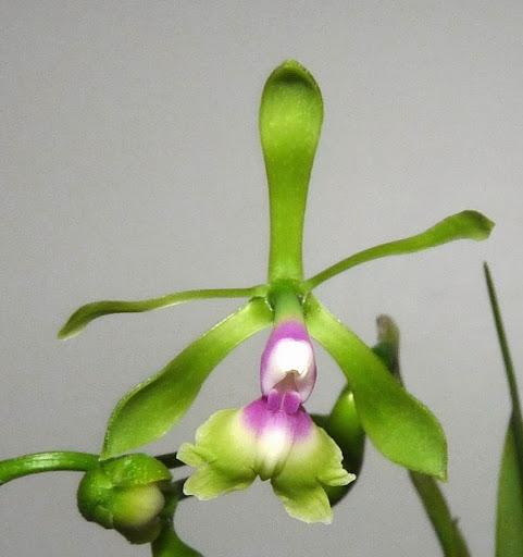 Epidendrum pseudepidendrum P1370192