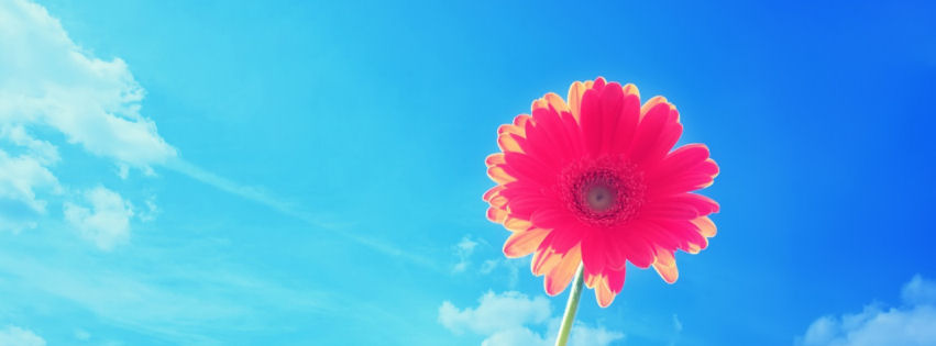 Pink gerbera flower facebook cover