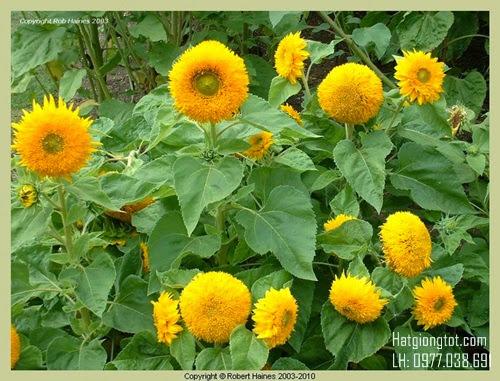 Hoa hướng dương kép cao