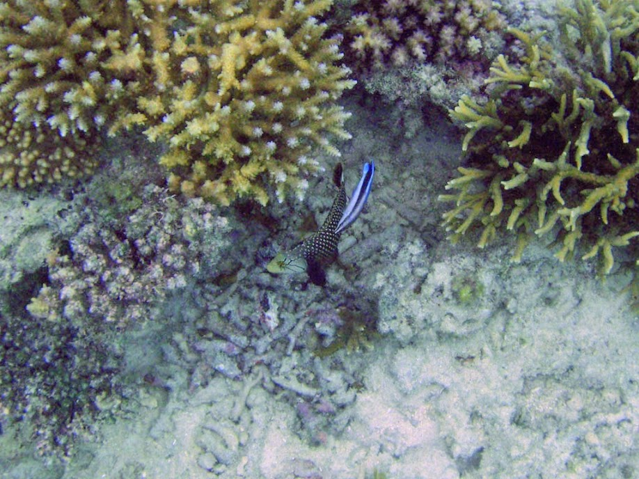 Kyphosus vaigiensis (Lowfin Chub), Aitutaki.