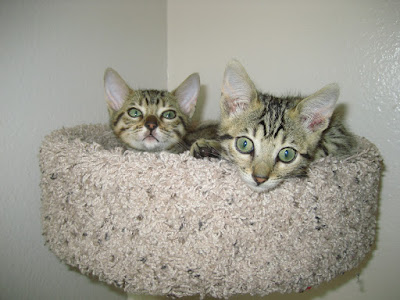 Our New Bengal Kittens
