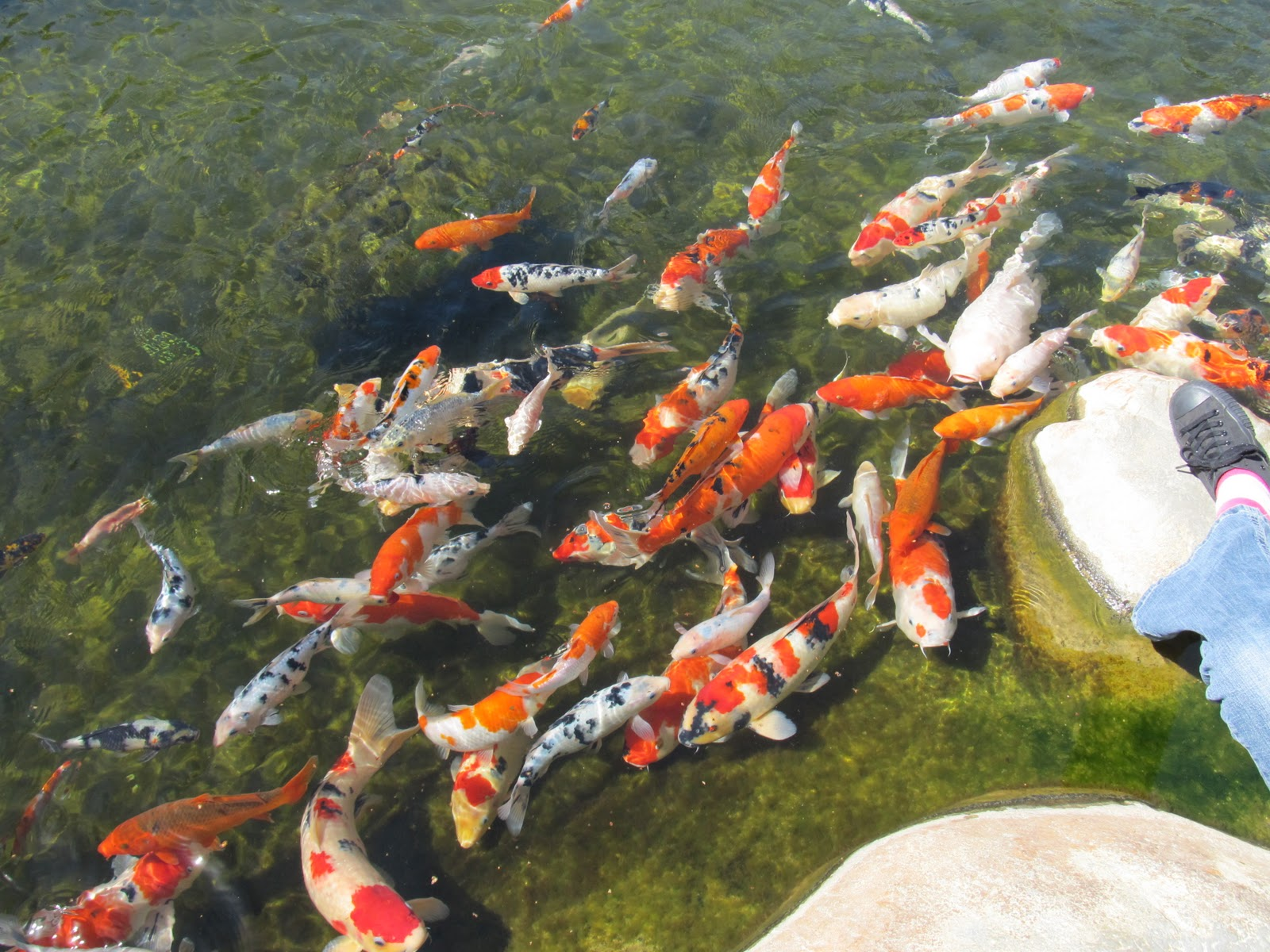 You Can Purchase Koi Pellets To Feed The Fish Check Out More Pictures Of Best Anese Garden In Long Beach