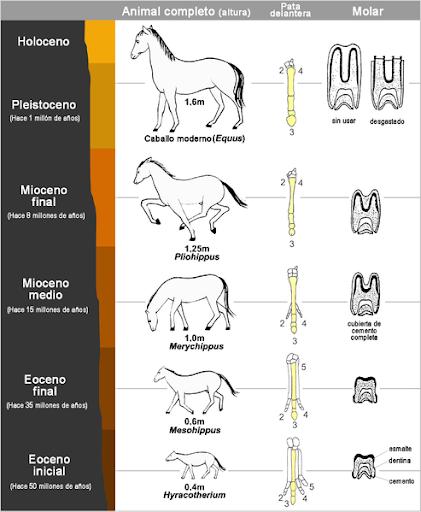El caballo es una de las pocas especies para las que existe un registro fósil completo que explica todo su proceso evolutivo en cada edad geológica