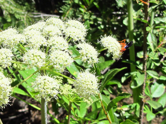 orange wasp on white flowers