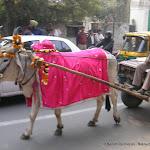 Une vache, sacrée, en procession au coeur de Delhi