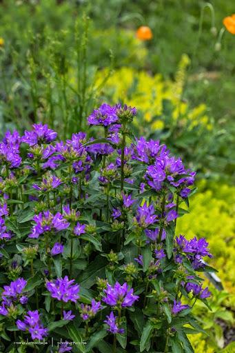 Campanula glomerata Freya Campanula-freya-130708-23rm