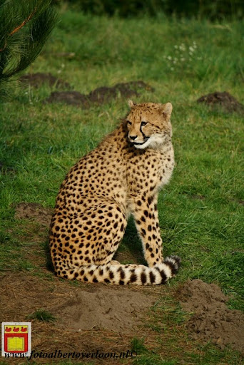 cheetahs vieren hun eerste verjaardag Zoo Parc Overloon (1) 11-11-2012.JPG