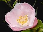 淡桃色 一重 抱え咲き 極小輪 有香