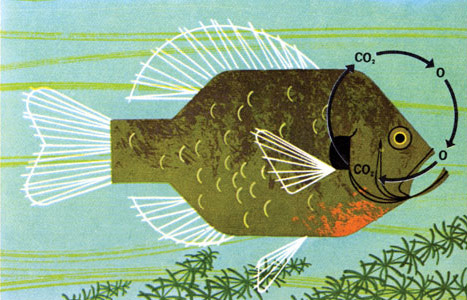 Oh so lovely vintage charley harper for Charley s fishing