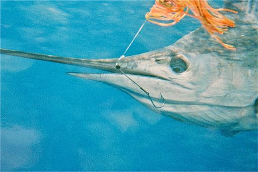 Hooking a marlin