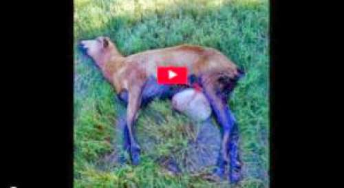 Ufo Investigators Rush To Port Lavaca Tx On Sheep Mutilations