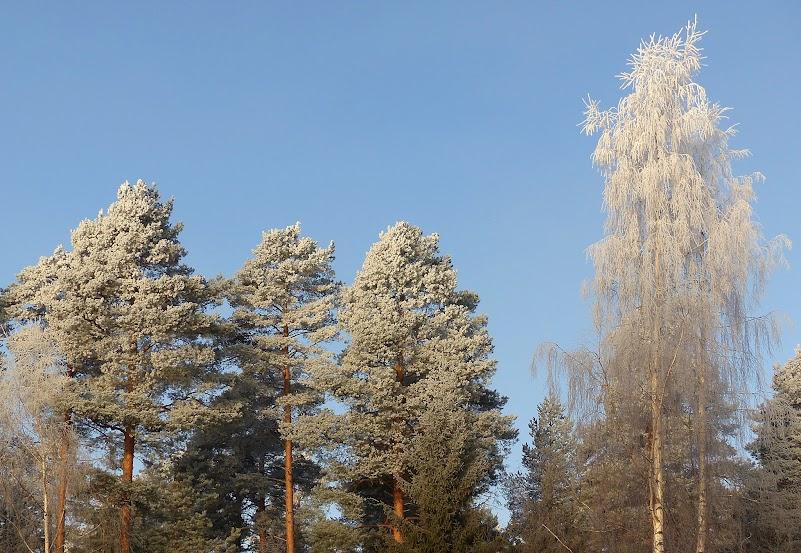 arbres%2Bgivre%2Bkirkkokangas%2B028.JPG