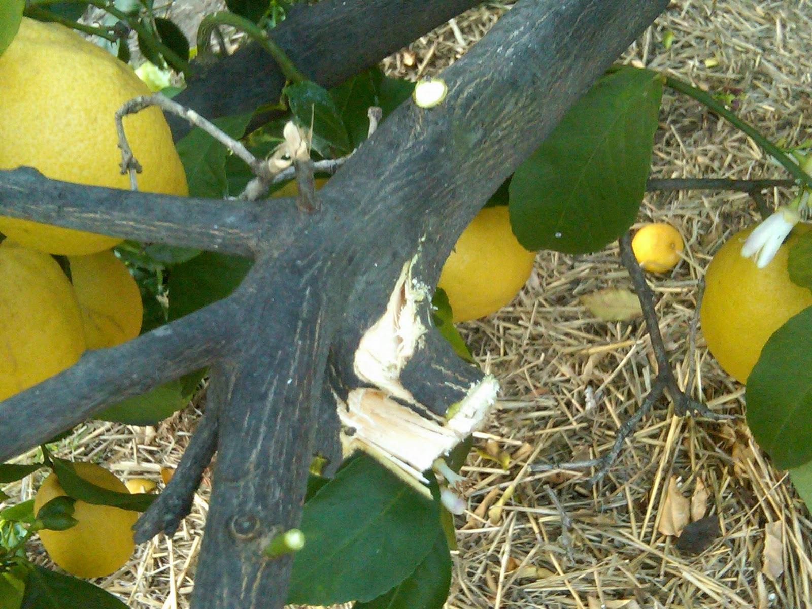 how to stop lemon tree getting sunburnt
