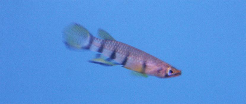 วงศ์ปลาหัวตะกั่ว (อังกฤษ: Killifish) Aplocheilidae )