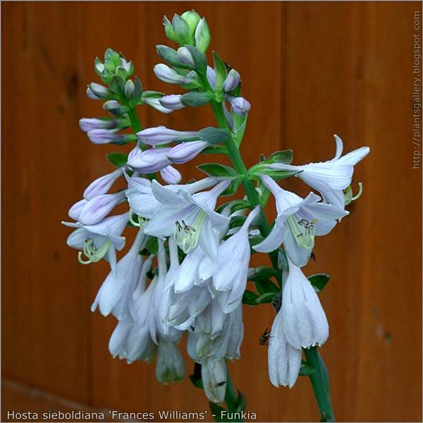 Hosta sieboldiana 'Frances Williams' flowers - Funkia kwiaty