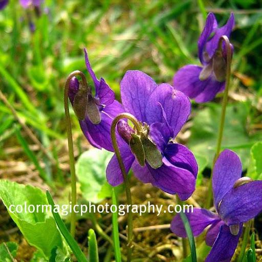 Viola odorata-Sweet violet