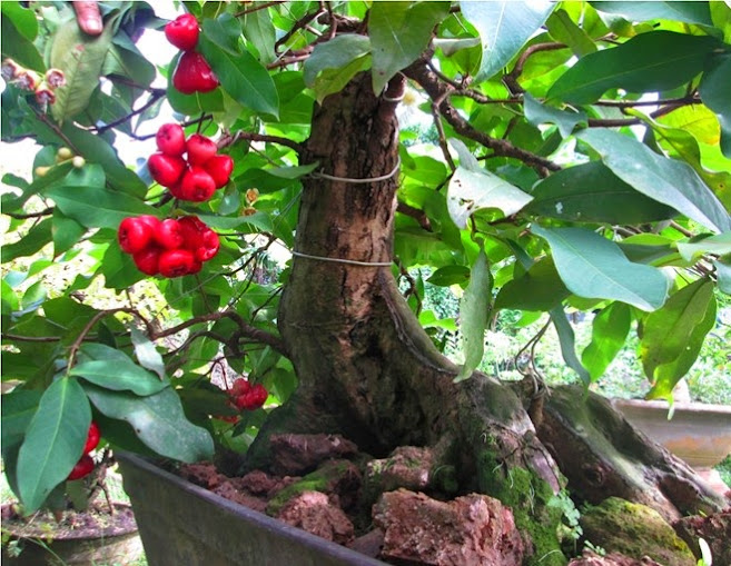 roi bonsai