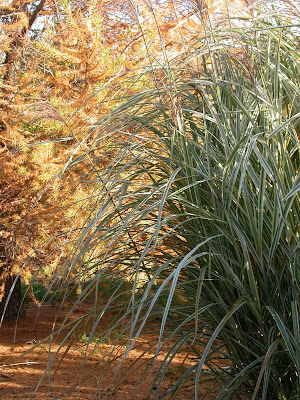 Miscanthus sinensis 'Dixieland'