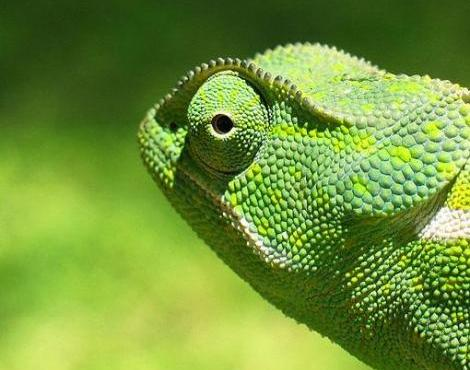 https://lh6.googleusercontent.com/-mWngia-__VQ/UKPpxn8xsAI/AAAAAAAAAuA/j-CG6rNQWA0/s800/chameleon3.jpg