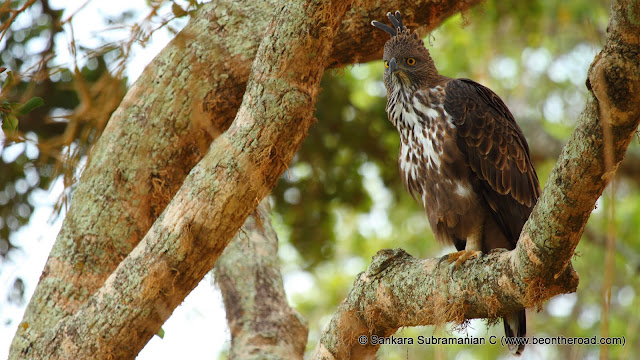 Changeable Hawk Eagle at Yala National Park - 2