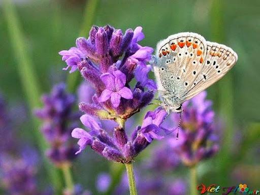 Hoa quế hương giúp giảm căng thẳng, Giảm nhức đầu, Giảm huyết áp