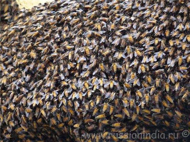 Индийские гигантские пчелы