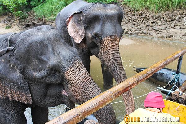 elephants bathing at river kwai jungle rafts, kanchanaburi elephants