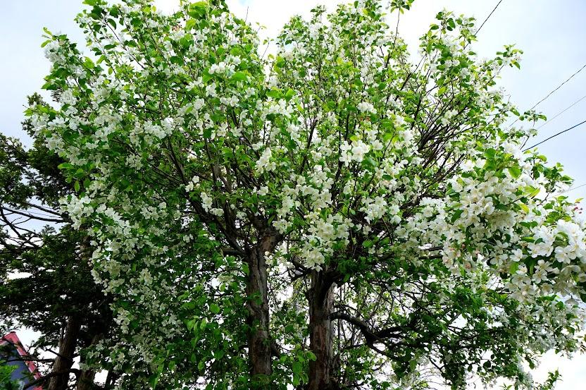 結婚の記念に植栽した姫リンゴの木
