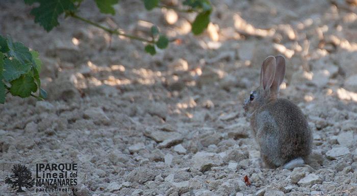 conejo en el parque lineal