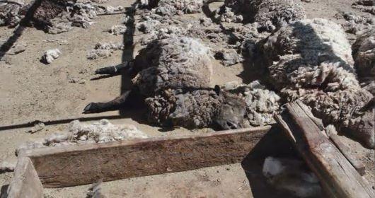 Sheep Mutilation Mystery - Dine\u0027 Navajo Reservation Near Hogback NM - Phantoms and & Sheep Mutilation Mystery - Dine\u0027 Navajo Reservation Near Hogback ...