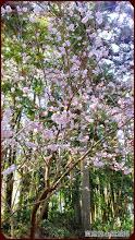 草坪頭玉山觀光茶園-一葉櫻