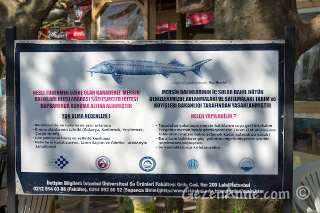 Sakarya, Karasu, Yenimahalle'deki mersin balığı bilgilendirme panosu