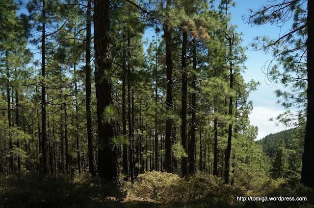 Sosny kanaryjskie, drzewa których nie da się spalić.