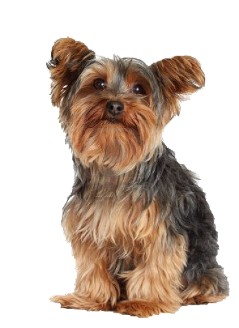 yorkie accessory beds and collars for yorkie s yorkie accessories 2060