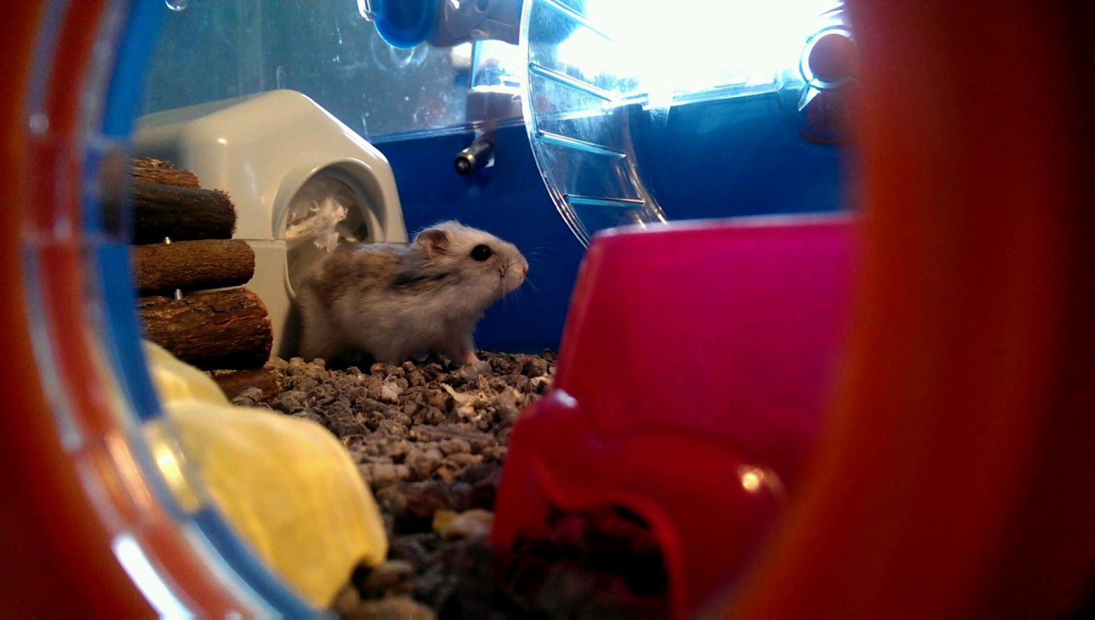 Dwarf Winter White Hamster