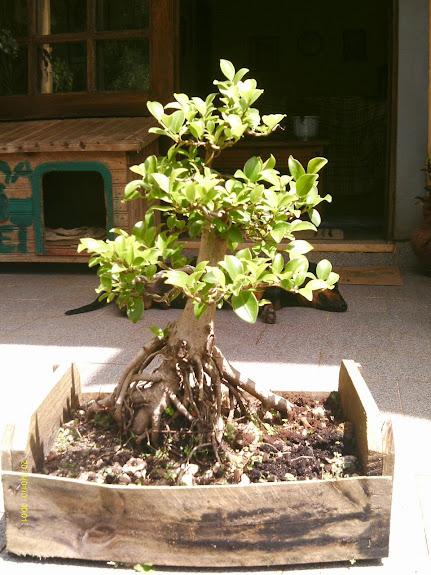 Ficus Microcarpa var. Indica... - Página 2 IMAG0036