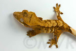 TV's Frank - Tricolor crested gecko from moonvalleyreptiles.com