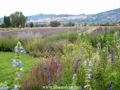 Il lavandeto di assisi vivaio e giardino della lavanda for Vendita piante e fiori da giardino
