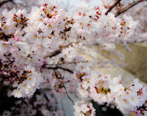 妙法寺川の桜のアップ。