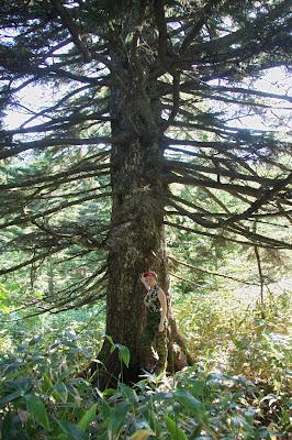Очень большое дерево